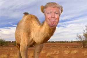 A camel which has the face of Donald Trump